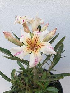Muda Rosa do Deserto Somalense Híbrida de semente com flor simples na cor Matizada