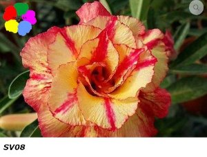 Flor Dobrada - Kit com 3 sementes - SV08 - Chang Ping