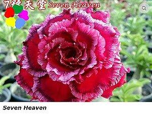 Flor Sétima - Kit com 3 sementes - Seven Heaven - Chang Ping