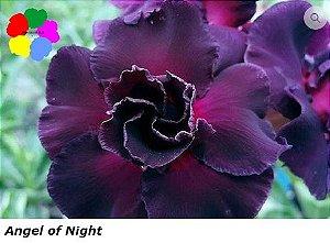 Flor Dobrada - Kit com 3 sementes - Angel of Night - Chang Ping