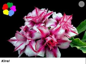 Flor Dobrada - Kit com 3 sementes - Kirei - Chang Ping