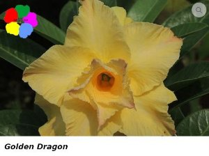 Flor Dobrada - Kit com 3 sementes - Golden Dragon - Chang Ping