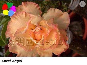 Flor Tripla - Kit com 3 sementes - Coral Angel - Chang Ping