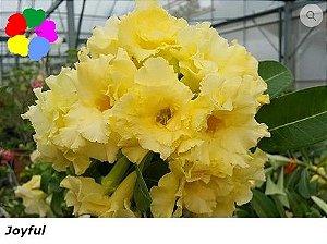 Flor Tripla - Kit com 3 sementes - Joyful - Chang Ping