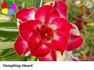 Flor Dobrada - Kit com 3 sementes - Tempting Heart - Chang Ping
