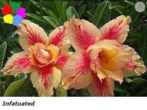 Flor Dobrada - Kit com 3 sementes - Infatuated - Chang Ping