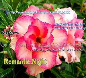 Enxerto de uma cor com flor Tripla - Romantic Night (Importada)