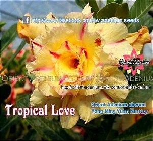 Enxerto de uma cor com flor Tripla - Tropical Love (Importada)
