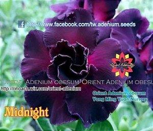 Enxerto de uma cor com flor Dobrada - Midnight (Importada)