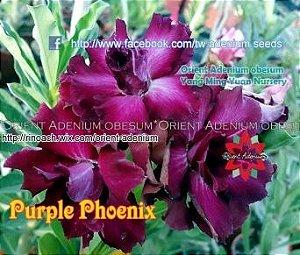 Enxerto de uma cor com flor Dobrada - Purple Phoenix (Importada)