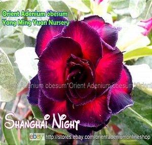 Enxerto de uma cor com flor Tripla - Shanghai Night (Importada)