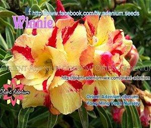 Enxerto de uma cor com flor Dobrada - Winnie (Importada)