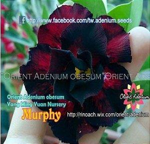 Enxerto de uma cor com flor Dobrada - Murphy (Importada)