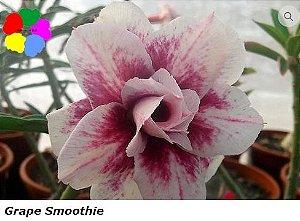 Flor Tripla - Kit com 3 sementes - Grape Smoothie - Chang Ping