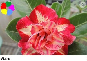 Flor Tripla - Kit com 3 sementes - Mars - Chang Ping