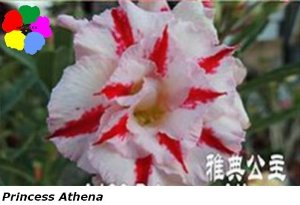 Flor Dobrada - Kit com 3 sementes - Princess Athena - Chang Ping