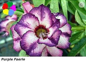 Flor Dobrada - Kit com 3 sementes - Purple Faerie - Chang Ping