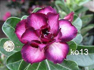 MIX flores simples, dobradas e triplas - Kit com 50 sementes - Mr. Ko