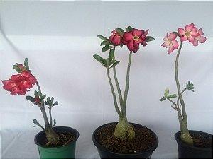 Kit com três plantas jovens da Rosa do Deserto - Kit 6