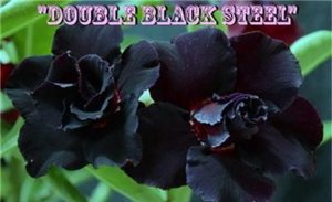 Double Black Steel - Kit com 3 sementes - Adenium King