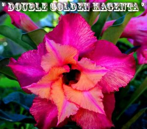 Double Golden Magenta - Kit com 3 sementes - Adenium King