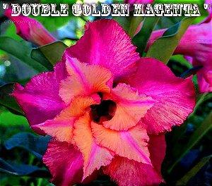 Double Golden Magenta - Kit com 3 sementes - Adenium King