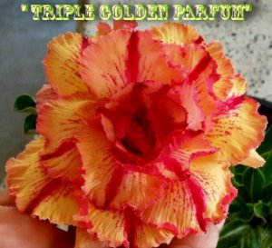 Triple Golden Parfum - Kit com 3 sementes - Adenium King