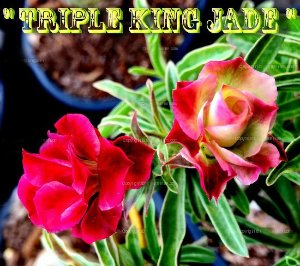 Triple King Jade - Kit com 3 sementes - Adenium King