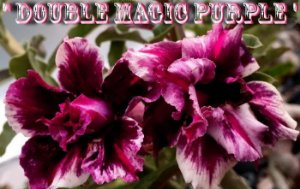 Double Magic Purple - Kit com 3 sementes - Adenium King