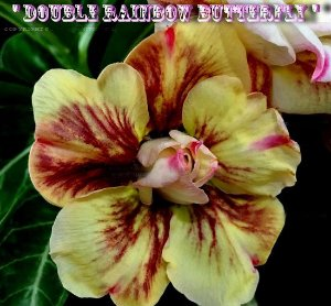 Double Rainbow Butterfly - Kit com 3 sementes - Adenium King