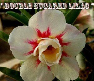 Double Sugared Lilac - Kit com 3 sementes - Adenium King