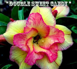 Double Sweet Candy - Kit com 3 sementes - Adenium King