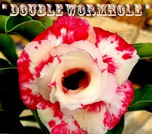 Double Wormhole - Kit com 3 sementes - Adenium King