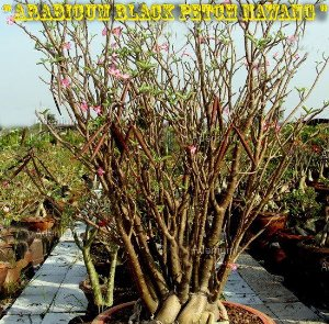 Rosa do Deserto - Adenium Arabicum - Kit com 5 sementes - Black Petch Nawang - Adenium King