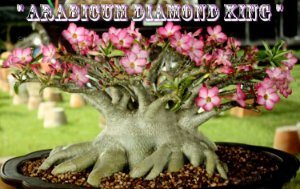 Rosa do Deserto - Adenium Arabicum - Kit com 3 sementes - Diamond King - Adenium King