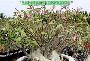 Rosa do Deserto - Adenium Arabicum - Kit com 3 sementes - Lopbhuri - Adenium King