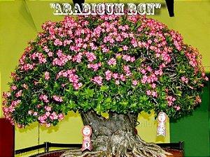Rosa do Deserto - Adenium Arabicum - Kit com 3 sementes - RCN - Adenium King