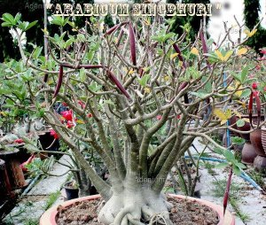Rosa do Deserto - Adenium Arabicum - Kit com 3 sementes - Singbhuri - Adenium King