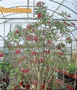 Adenium Somalense - Kit com 25 sementes - Saigon Adenium