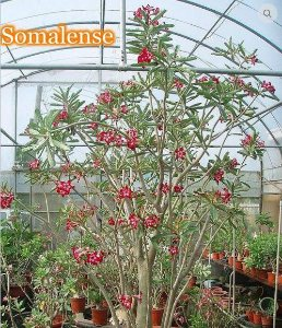 Adenium Somalense Rosa do Deserto - Kit com 50 sementes - Mr. Ko