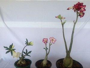 Kit com três plantas jovens da Rosa do Deserto - Kit 7