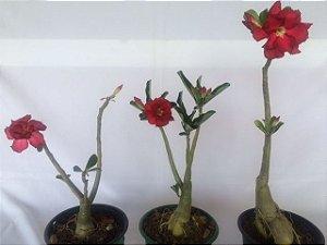 Kit com três plantas jovens da Rosa do Deserto - Kit 9