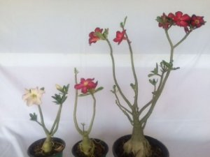Kit com três plantas jovens da Rosa do Deserto - Kit 10