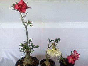 Kit com três plantas jovens da Rosa do Deserto - Kit 11