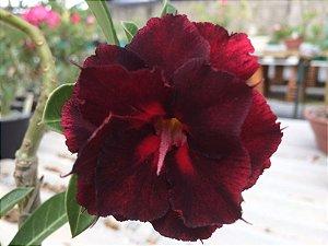 Enxerto de uma cor com flor Dobrada - EV424