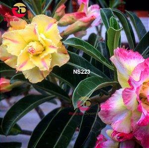Enxerto de uma cor com flor Tripla - NS223 (Tweety Camaleão)