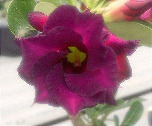 Enxerto de uma cor com flor Dobrada - NS069
