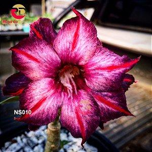 Enxerto de uma cor com flor Dobrada - NS010 (Purple Swallow)