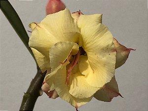 Enxerto Rosa do Deserto com flor dobrana amarela