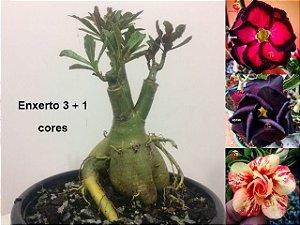 Planta com 3 + 1 cores. Enxerto com flores dobradas